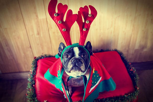 Holiday Pet Safety in Grapevine: A Dog Wearing Reindeer Antlers for Christmas