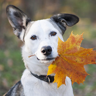 Fall Pet Safety in Grapevine: A Dog Holds an Autumn Leaf in Her Mouth