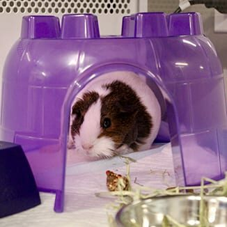 FAQs: Guinea Pig in Enclosure